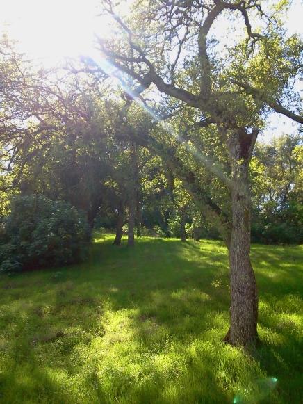Sunlight through Oak